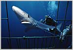 San Diego Blue Shark Entering Cage.