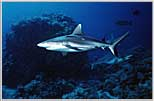 Gray Sharks sense food in the Red Sea