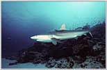 Rowley Shoals Gray Shark Swoops-in
