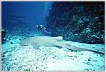 Coral Sea Jessica With Giant Nurse Shark
