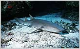 Nurse Shark At Rest