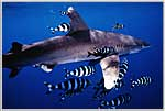 Red Sea Oceanic White Tip Shark