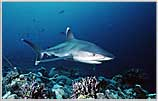 Rowley Shoals'Silvertip Shark Streaks In